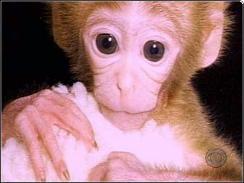 Tetra - cloned monkey